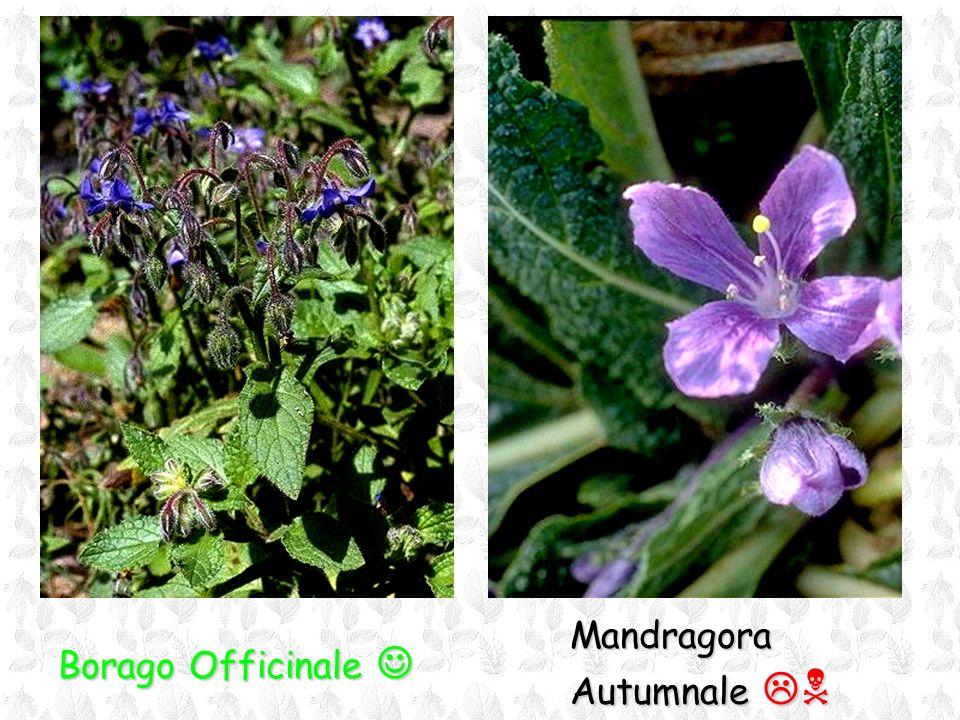 Borago Officinale Borago Officinale Mandragora Autumnale Autumnale