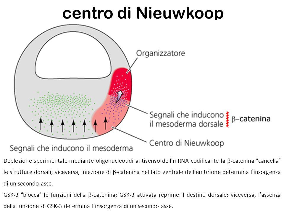 centro di Nieuwkoop Deplezione sperimentale mediante oligonucleotidi antisenso dellmRNA codificante la -catenina cancella le strutture dorsali; viceve