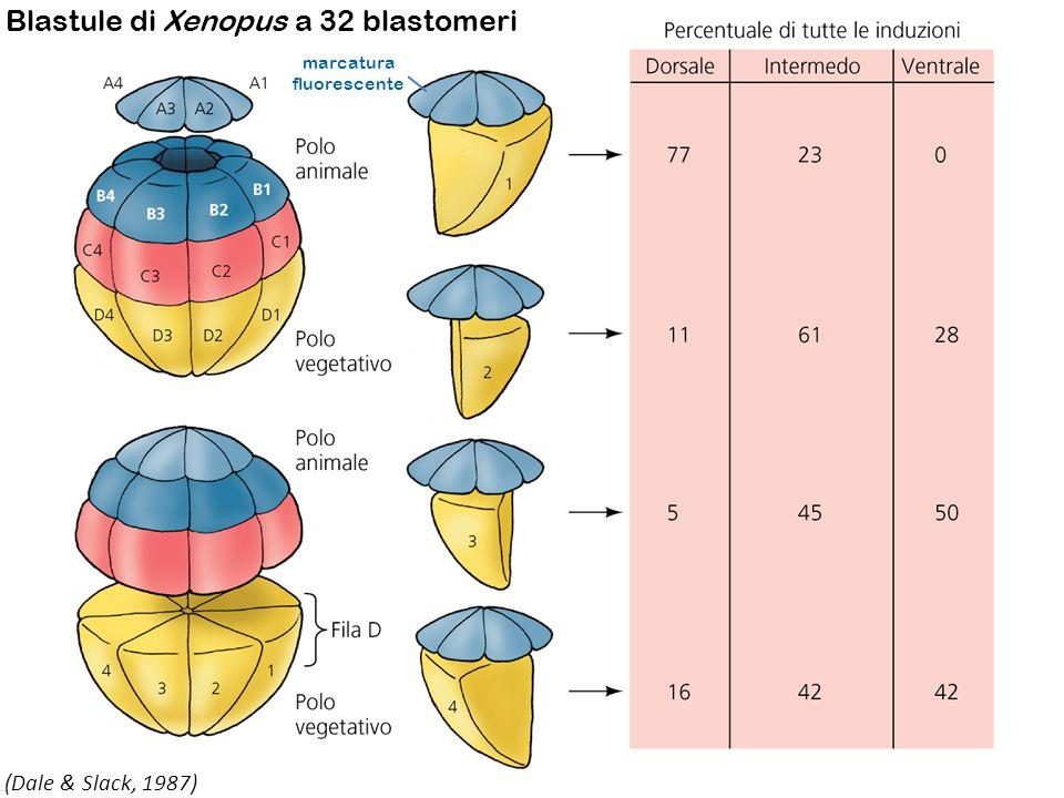mRNA VegT > proteina VegT Accende Derrière (Nodal-related) Derrière viene secreto dalle cellule endodermiche ed è in grado di indurre le cell della calotta animale a divenire mesoderma Linterazione Derrière/recettore attiva una cascata che culmina con lattivazione del gene Brachyury (Bra), codificante per un fattore di trascrizione T-Box Bra attiva la trascrizione del gene codificante eFGF, un fattore di crescita che viene secreto e manterrà, mediante paracrinia, lespressione di Bra.