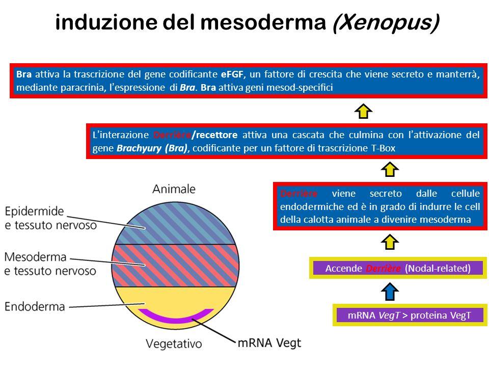 mRNA VegT > proteina VegT Accende Derrière (Nodal-related) Derrière viene secreto dalle cellule endodermiche ed è in grado di indurre le cell della ca