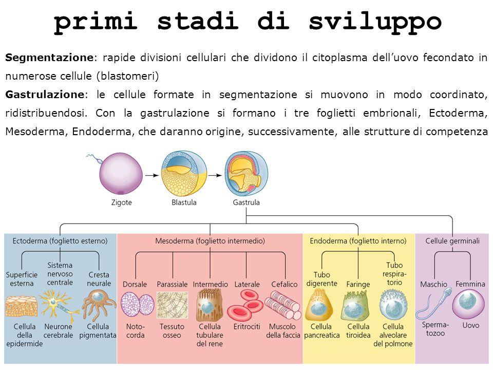primi stadi di sviluppo Segmentazione: rapide divisioni cellulari che dividono il citoplasma delluovo fecondato in numerose cellule (blastomeri) Gastr