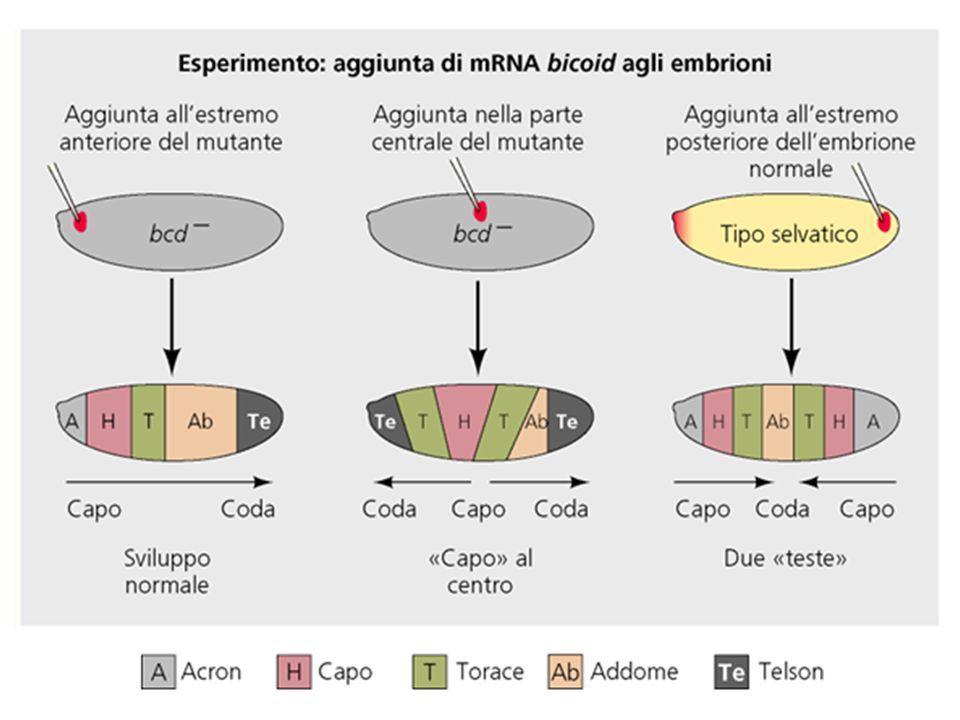 1.Permette la migrazione cellulare durante i massivi movimenti della gastrulazione 2.Impedisce il contatto – quindi linterazione – tra le cellule.