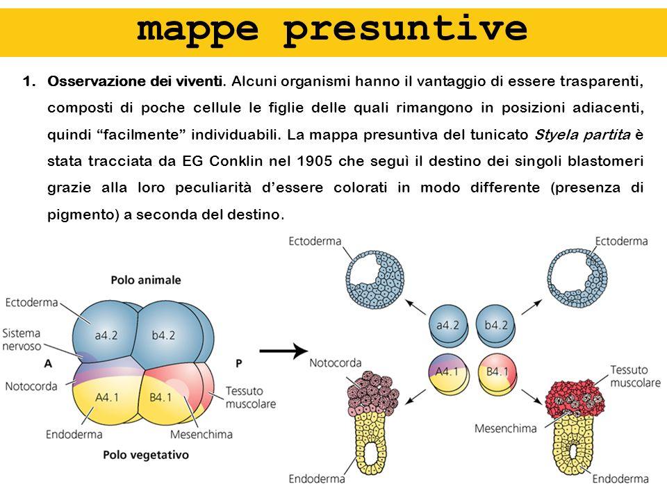 controllo oligonucleotidi antisenso anti-EP-caderina Heasman et al, 1994 blastocele