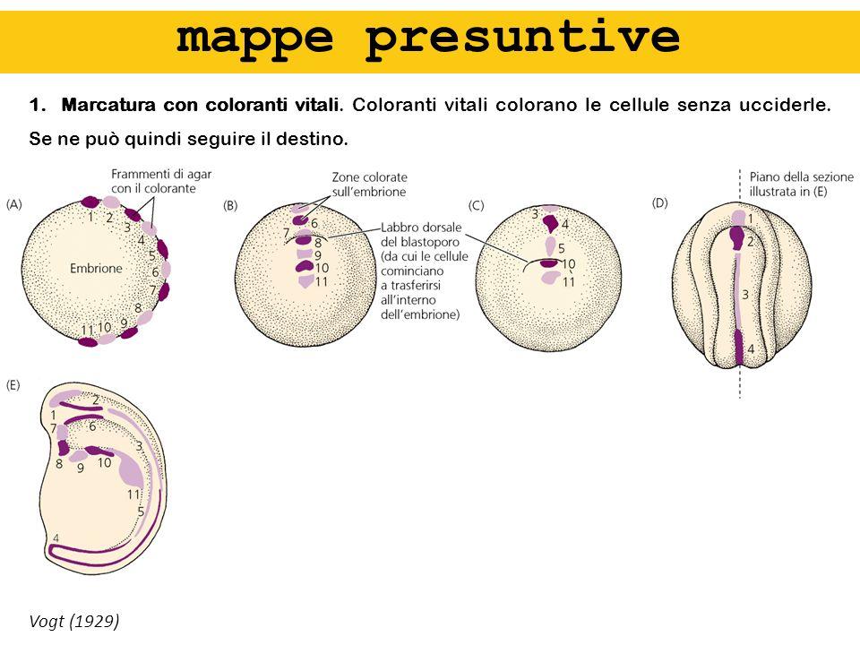 1.Marcatura con coloranti vitali. Coloranti vitali colorano le cellule senza ucciderle. Se ne può quindi seguire il destino. Vogt (1929) mappe presunt