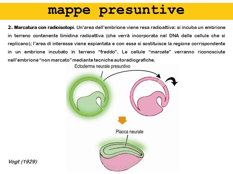 2. Marcatura con radioisotopi. Unarea dellembrione viene resa radioattiva: si incuba un embrione in terreno contenente timidina radioattiva (che verrà