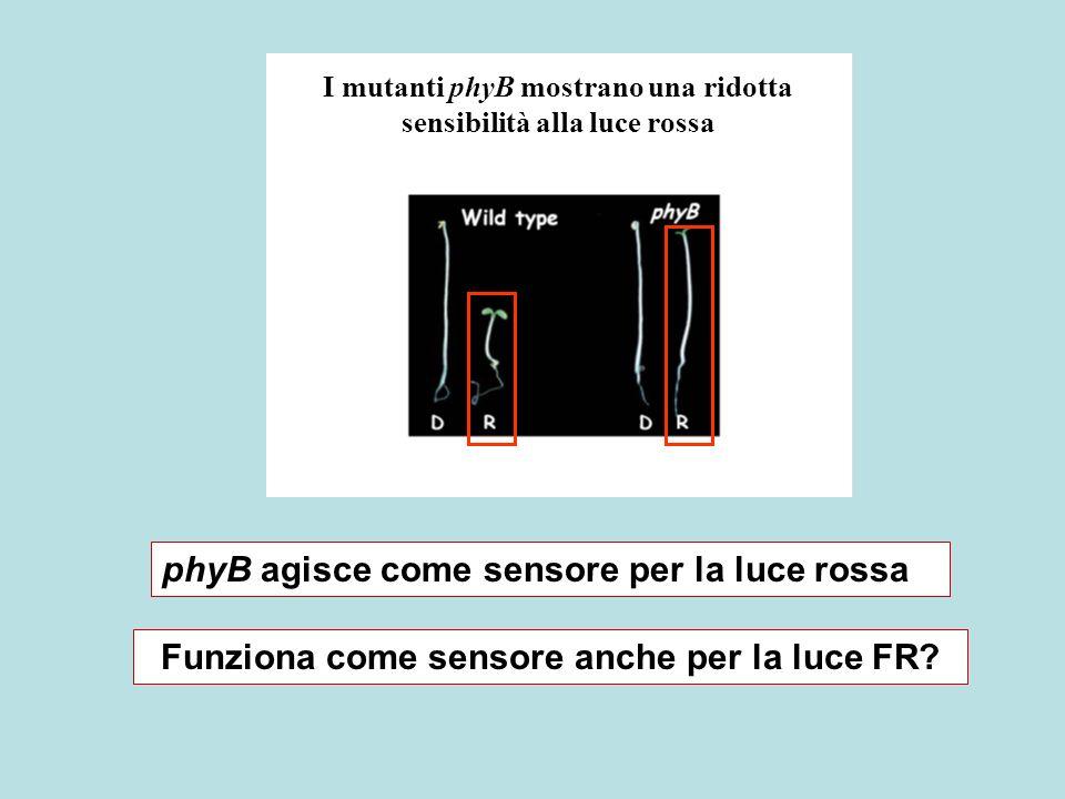 I mutanti phyB mostrano una ridotta sensibilità alla luce rossa phyB agisce come sensore per la luce rossa Funziona come sensore anche per la luce FR?
