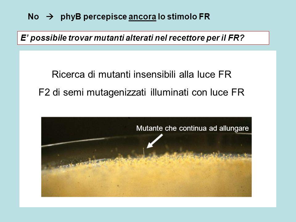 No phyB percepisce ancora lo stimolo FR Ricerca di mutanti insensibili alla luce FR F2 di semi mutagenizzati illuminati con luce FR E possibile trovar