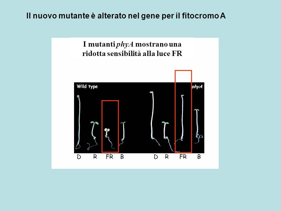 I mutanti phyA mostrano una ridotta sensibilità alla luce FR Il nuovo mutante è alterato nel gene per il fitocromo A