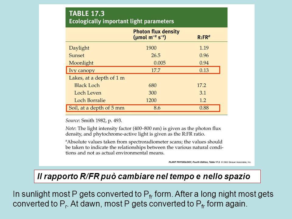 Il rapporto R/FR può cambiare nel tempo e nello spazio In sunlight most P gets converted to P fr form. After a long night most gets converted to P r.