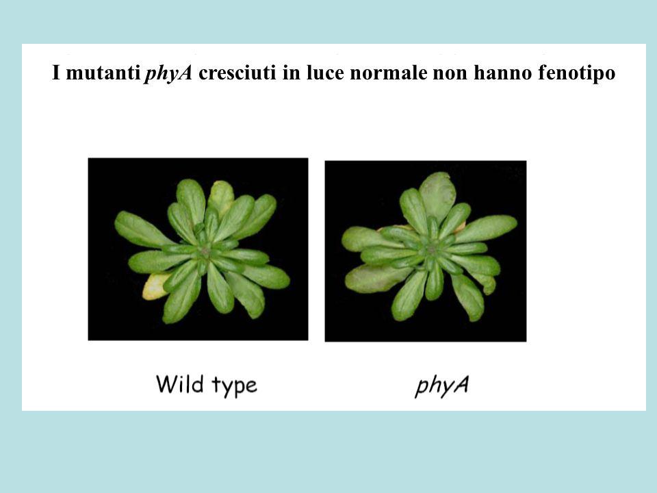 I mutanti phyB al contrario hanno internodi più lunghi e fioriscono precocemente Questo fenotipo assomiglia a quello delle piante cresciute a basso R:FR