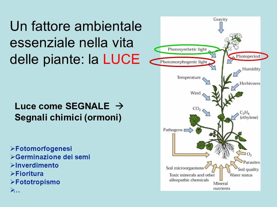 Un fattore ambientale essenziale nella vita delle piante: la LUCE Fotomorfogenesi Germinazione dei semi Inverdimento Fioritura Fototropismo … Luce com