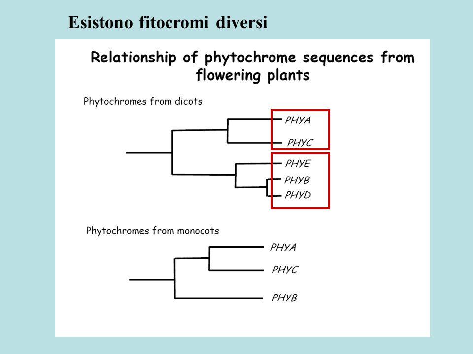 La famiglia genica del fitocromo Tipo I : fotolabile, alte concentrazioni in plantula eziolata Tipo II: fotostabile, presente in pianta alla luce Tipo I Tipo II Classificazione 1) in base alla sequenza o 2) in base al comportamento dopo illuminazione