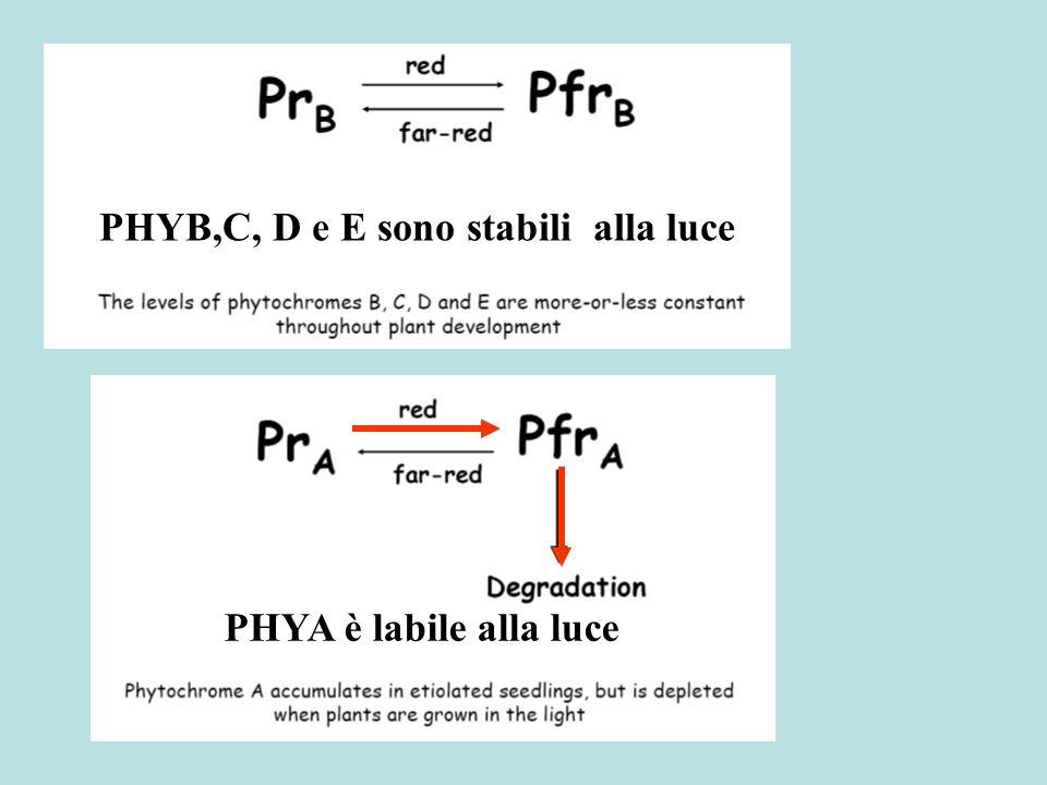 PHYA è labile alla luce PHYB,C, D e E sono stabili alla luce