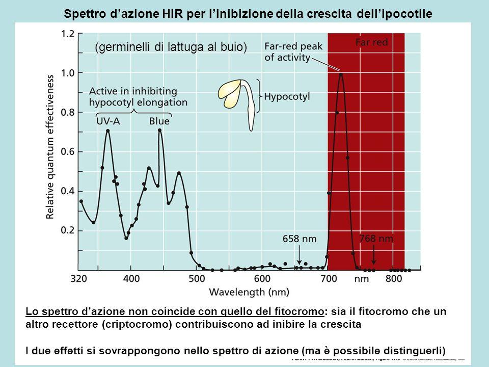 Spettro dazione HIR per linibizione della crescita dellipocotile (germinelli di lattuga al buio) Lo spettro dazione non coincide con quello del fitocr