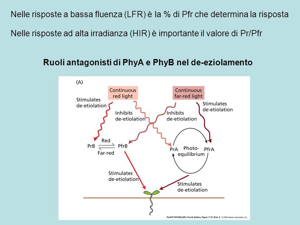 Ruoli antagonisti di PhyA e PhyB nel de-eziolamento Nelle risposte a bassa fluenza (LFR) è la % di Pfr che determina la risposta Nelle risposte ad alt