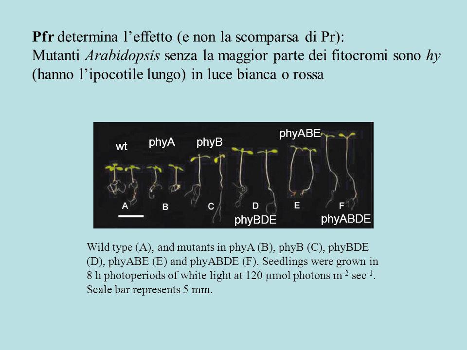 In luce bianca bassissima phyA non germina In luce rossa phyB ha lipocotile lungo In luce rossa lespressione di PhyC e PhyD (e anche PhyA) dipende da PhyB Gli effetti sono dovuti alle regolazioni incrociate o alla mutazione.
