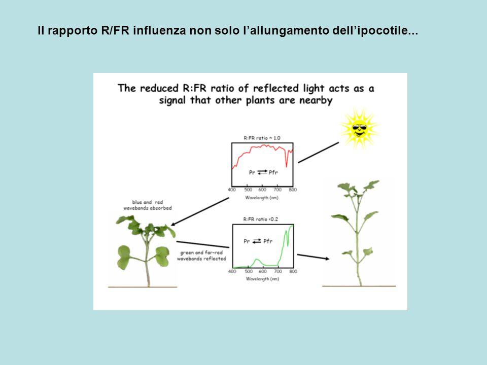 Molte piante quando esposte a luce con un basso rapporto di R/FR, hanno una risposta denominata fuga dallombra (shade avoidance)