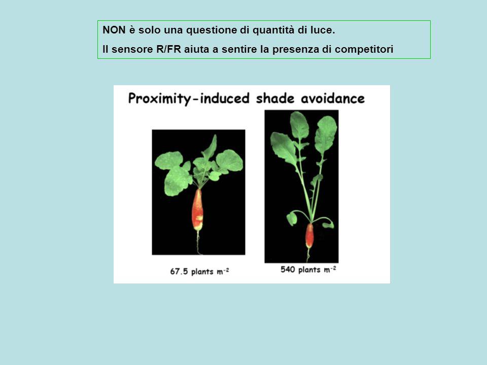 (A) Seedlings of Datura ferox growing at increasing densities (32, 100 and 240 seedlings m -2 ) for three weeks.