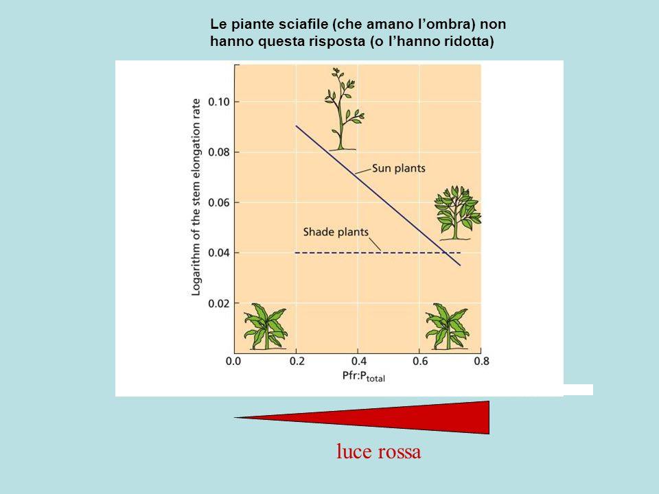 FUGA DALLOMBRA luce rossa Le piante sciafile (che amano lombra) non hanno questa risposta (o lhanno ridotta)