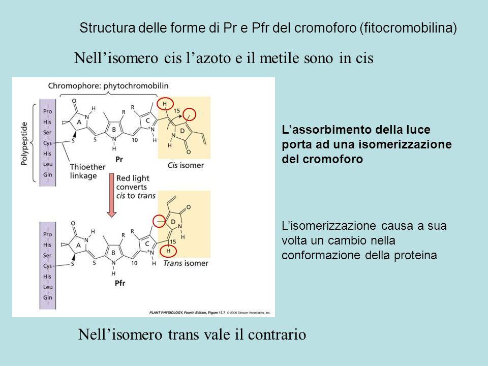 Structura delle forme di Pr e Pfr del cromoforo (fitocromobilina) Nellisomero cis lazoto e il metile sono in cis Nellisomero trans vale il contrario L