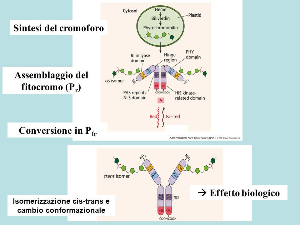 Effetti di P fr Cè anche un effetto sui flussi di ioni (molto veloce) Lesposizione del NLS determina limporto nel nucleo con un effetto sullespressione genica