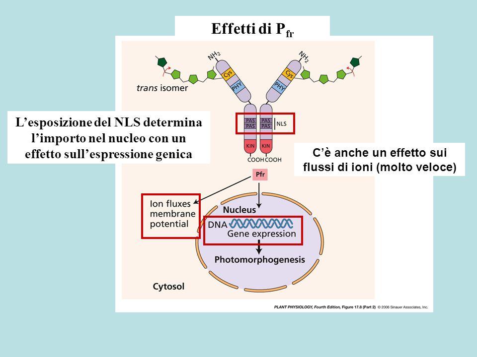 Effetti di P fr Cè anche un effetto sui flussi di ioni (molto veloce) Lesposizione del NLS determina limporto nel nucleo con un effetto sullespression