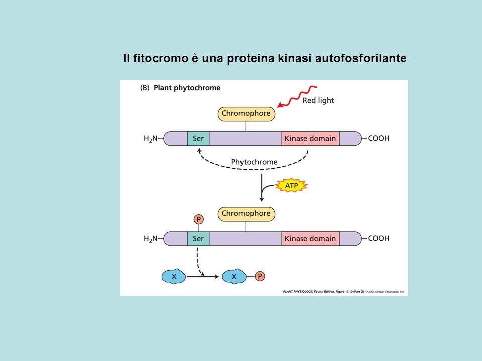 Lattività del fitocromo è modulata dallo stato di fosforilazione La fosforilazione regolatoria avviene in siti diversi dallautofosforilazione