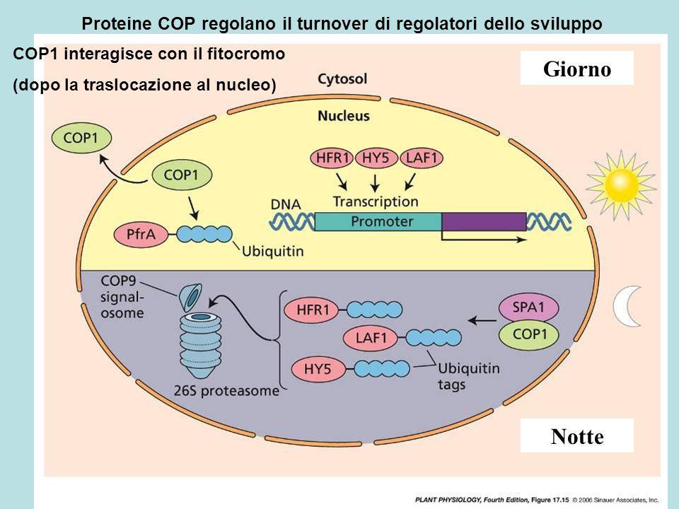 Proteine COP regolano il turnover di regolatori dello sviluppo Giorno Notte COP1 interagisce con il fitocromo (dopo la traslocazione al nucleo)