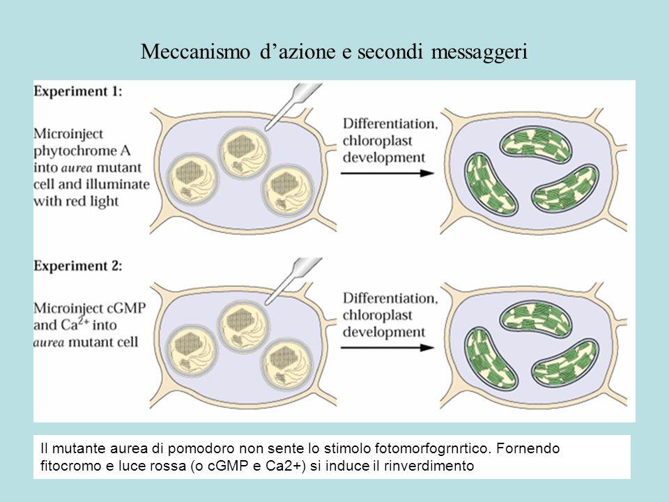 Meccanismo dazione e secondi messaggeri Il mutante aurea di pomodoro non sente lo stimolo fotomorfogrnrtico. Fornendo fitocromo e luce rossa (o cGMP e