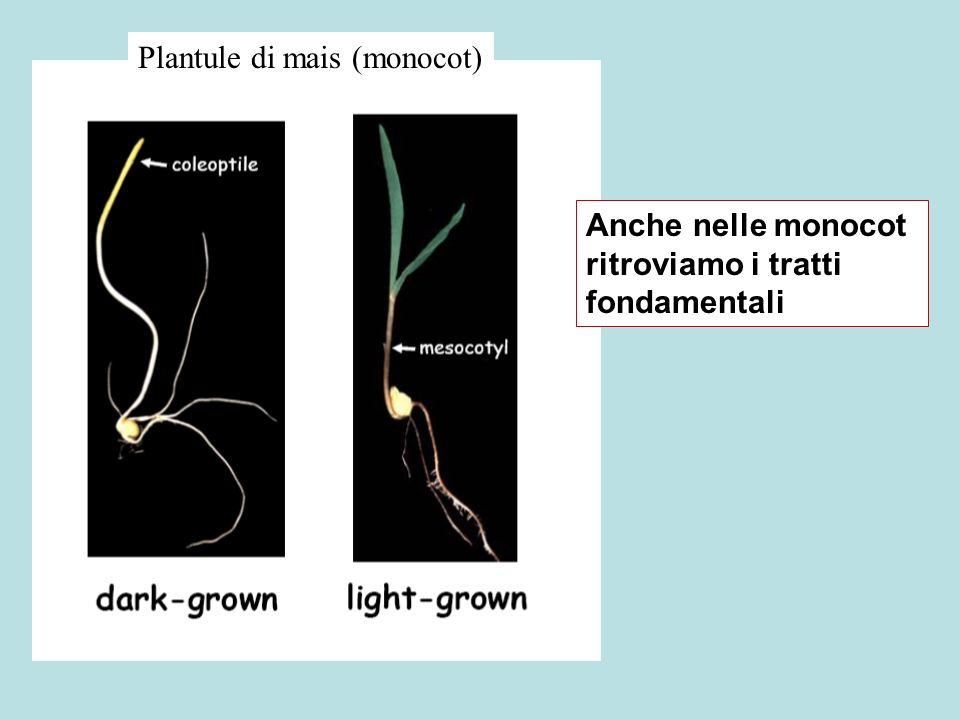 Plantule di mais (monocot) Anche nelle monocot ritroviamo i tratti fondamentali
