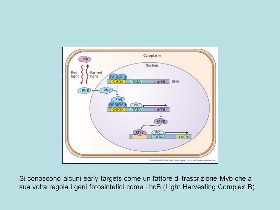 Si conoscono alcuni early targets come un fattore di trascrizione Myb che a sua volta regola i geni fotosintetici come LhcB (Light Harvesting Complex