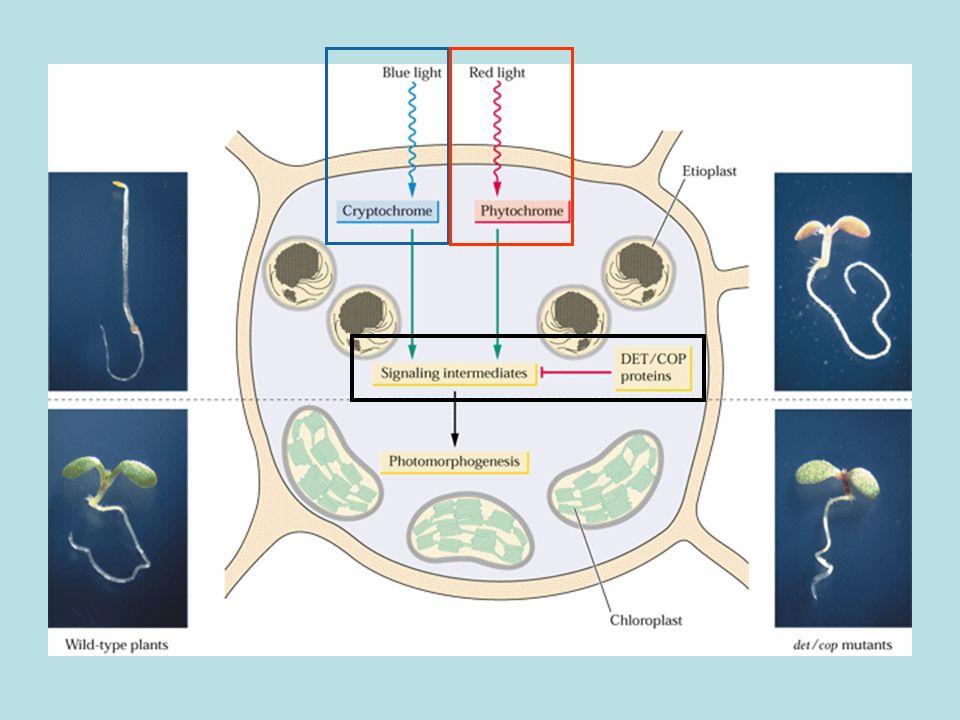 Spettro dazione ad alta intensità per linibizione della crescita dellipocotile (germinelli di lattuga al buio) Nella zona blu dello spettro linibizione della crescita da chi è mediata?