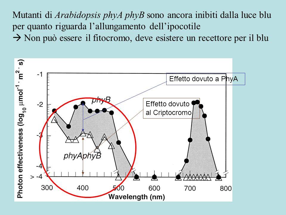 Recettori per il blu: CRIPTOCROMI Cry 1, 2 in Arabidopsis Fenotipo del mutante hy4 (= cry1) Alla luce CRY1 è stabile, mentre CRY2 viene degradato.