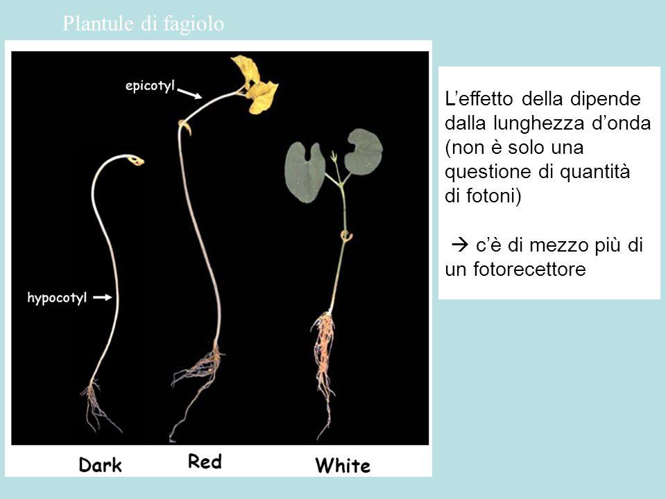 Germinazione dei semi di lattuga: linduzione (non la germinazione) è reversibile Le λ NON sono equivalenti spettro dazione La luce rossa stimola, quella rosso lontana inibisce.