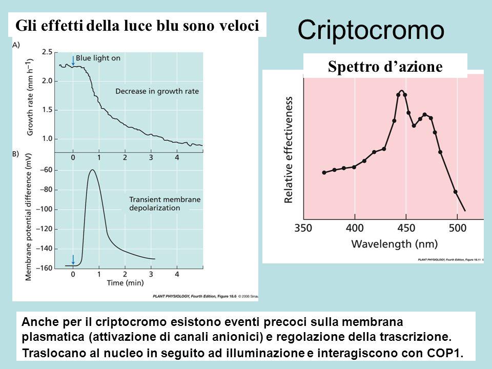 Criptocromo Gli effetti della luce blu sono veloci Spettro dazione Anche per il criptocromo esistono eventi precoci sulla membrana plasmatica (attivaz