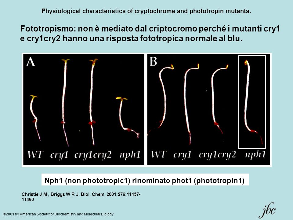 Physiological characteristics of cryptochrome and phototropin mutants. Christie J M, Briggs W R J. Biol. Chem. 2001;276:11457- 11460 ©2001 by American