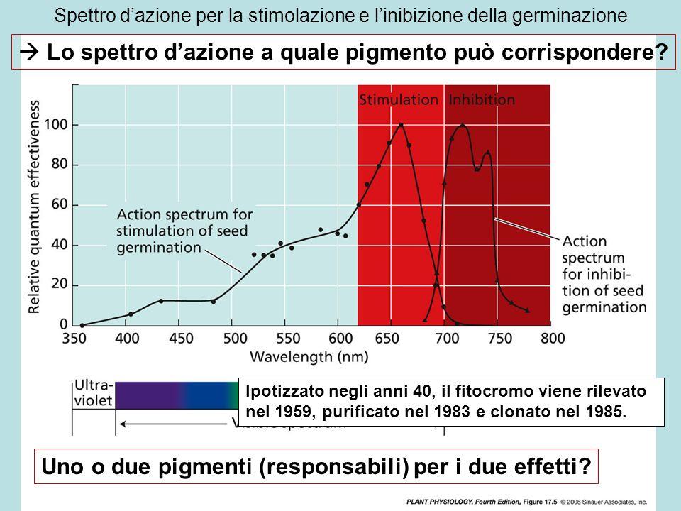 Spettro dazione per la stimolazione e linibizione della germinazione Lo spettro dazione a quale pigmento può corrispondere? Uno o due pigmenti (respon