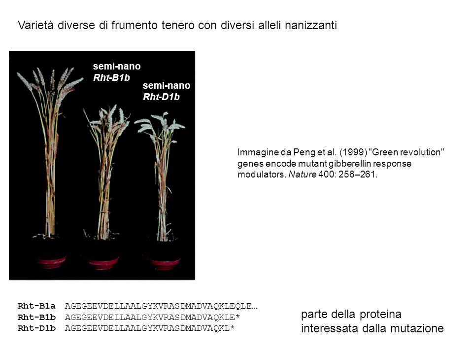 Varietà diverse di frumento tenero con diversi alleli nanizzanti semi-nano Rht-B1b semi-nano Rht-D1b Rht-B1aAGEGEEVDELLAALGYKVRASDMADVAQKLEQLE… Rht-B1