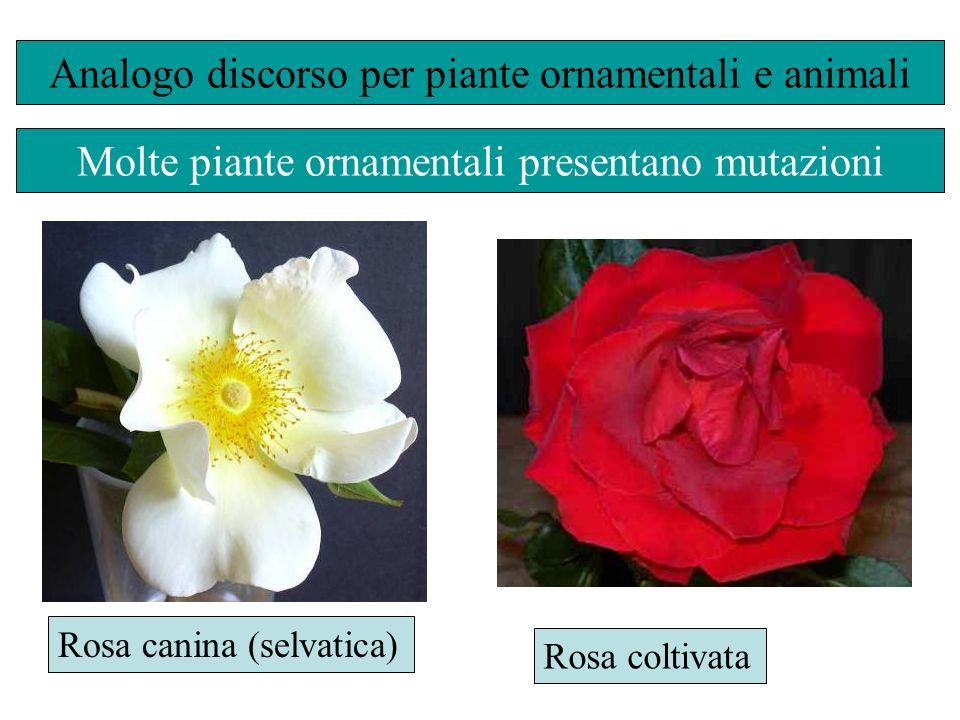 Analogo discorso per piante ornamentali e animali Rosa canina (selvatica) Rosa coltivata Molte piante ornamentali presentano mutazioni