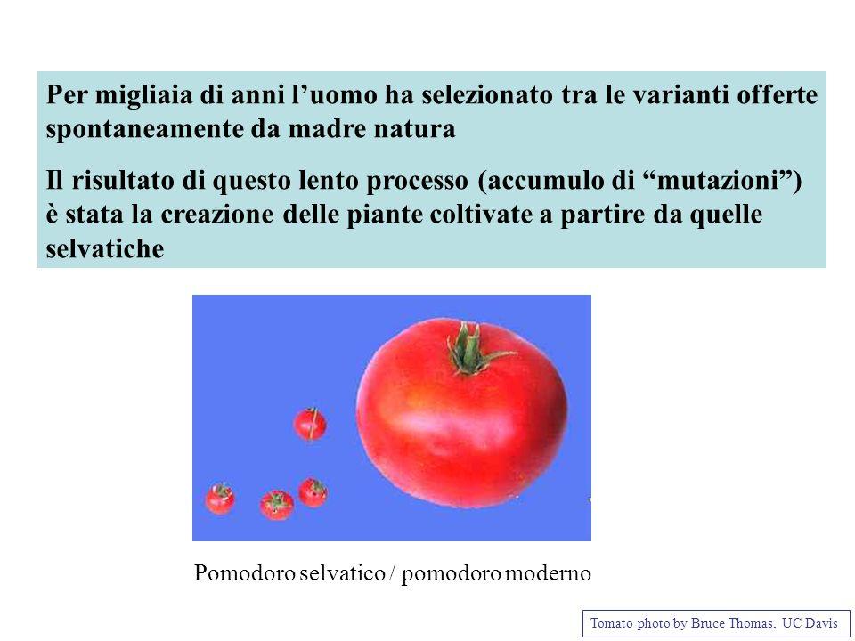 Pomodoro selvatico / pomodoro moderno Tomato photo by Bruce Thomas, UC Davis Per migliaia di anni luomo ha selezionato tra le varianti offerte spontan