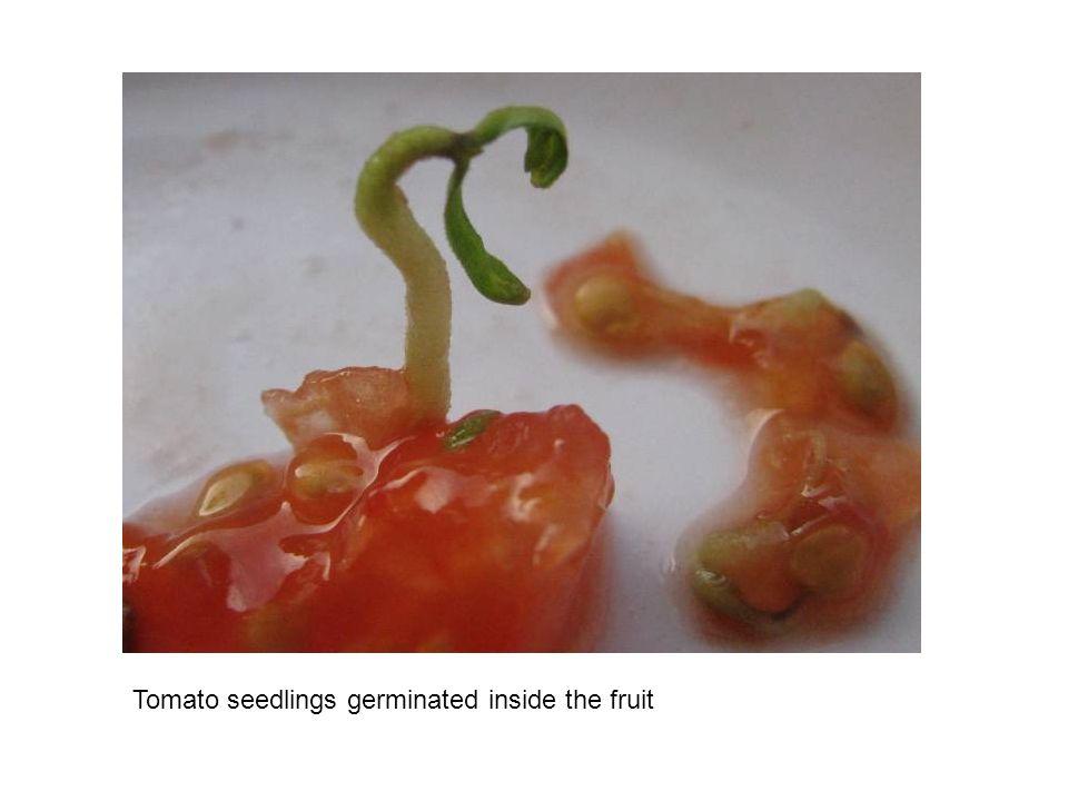 Tomato seedlings germinated inside the fruit