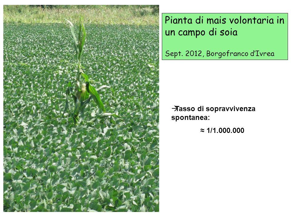 Pianta di mais volontaria in un campo di soia Sept. 2012, Borgofranco dIvrea Tasso di sopravvivenza spontanea: 1/1.000.000