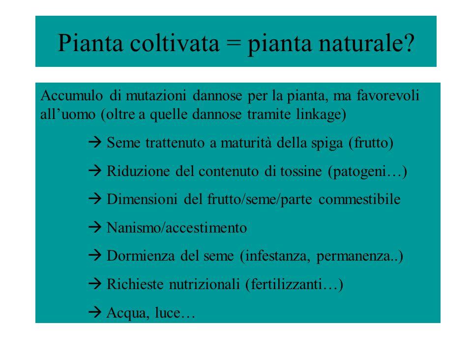 Pianta coltivata = pianta naturale? Accumulo di mutazioni dannose per la pianta, ma favorevoli alluomo (oltre a quelle dannose tramite linkage) Seme t