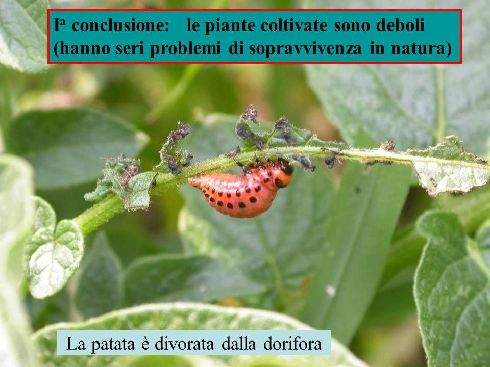 La patata è divorata dalla dorifora I a conclusione: le piante coltivate sono deboli (hanno seri problemi di sopravvivenza in natura)