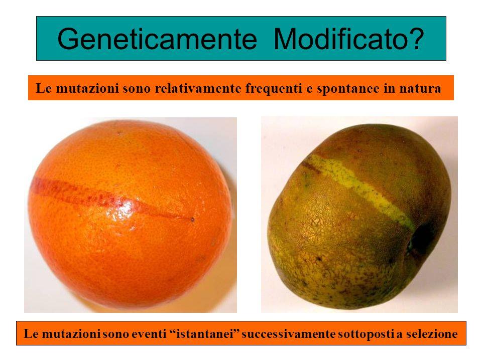 Geneticamente Modificato? Le mutazioni sono relativamente frequenti e spontanee in natura Le mutazioni sono eventi istantanei successivamente sottopos