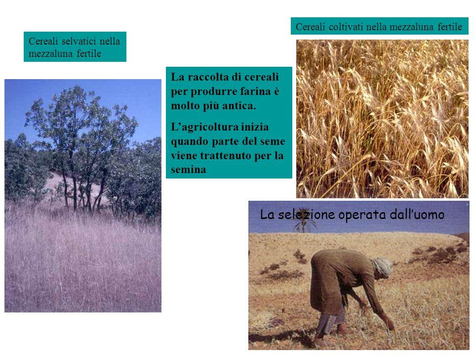 La raccolta di cereali per produrre farina è molto più antica. Lagricoltura inizia quando parte del seme viene trattenuto per la semina Cereali selvat