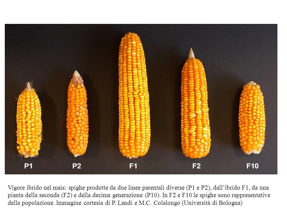 P1P2F1 F2F10 Vigore ibrido nel mais: spighe prodotte da due linee parentali diverse (P1 e P2), dallibrido F1, da una pianta della seconda (F2) e della