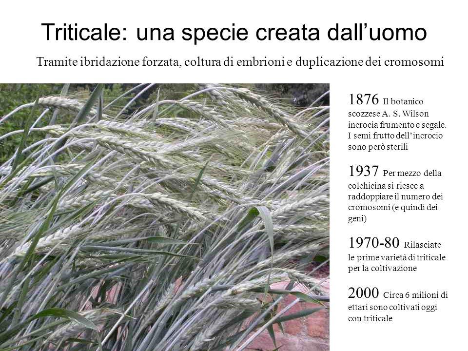 Triticale: una specie creata dalluomo 1876 Il botanico scozzese A. S. Wilson incrocia frumento e segale. I semi frutto dellincrocio sono però sterili