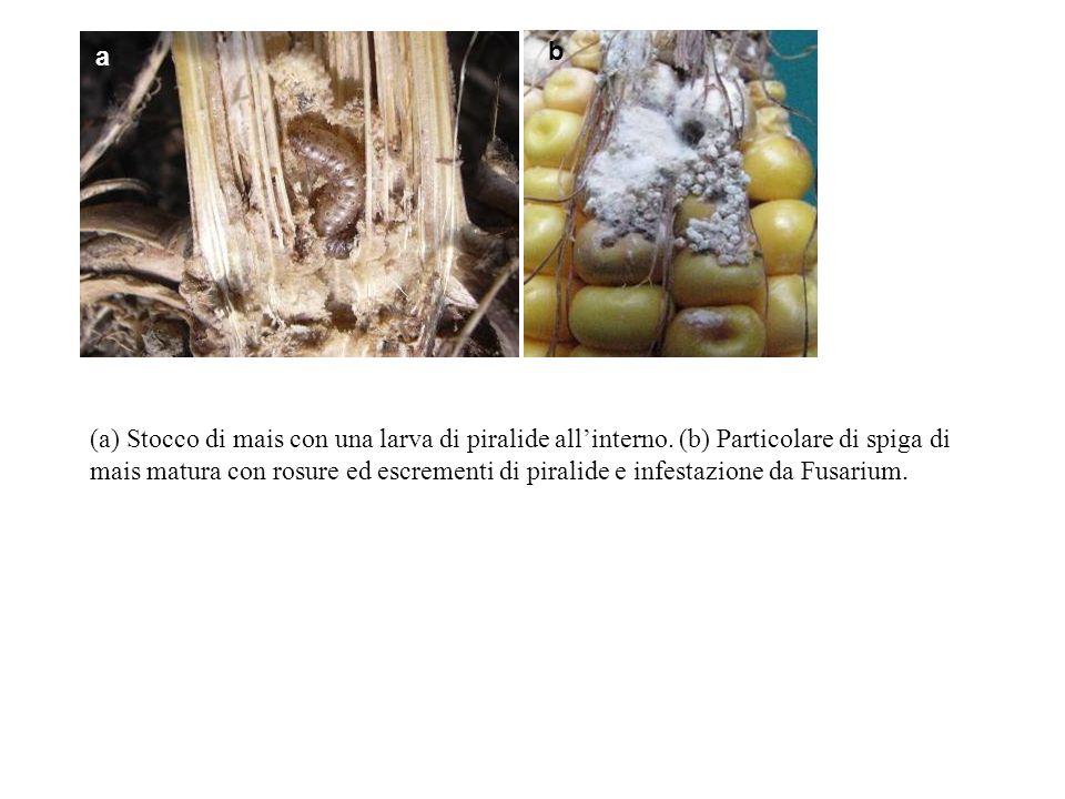 (a) Stocco di mais con una larva di piralide allinterno. (b) Particolare di spiga di mais matura con rosure ed escrementi di piralide e infestazione d