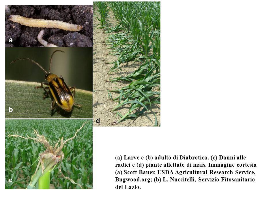 (a) Larve e (b) adulto di Diabrotica. (c) Danni alle radici e (d) piante allettate di mais. Immagine cortesia (a) Scott Bauer, USDA Agricultural Resea